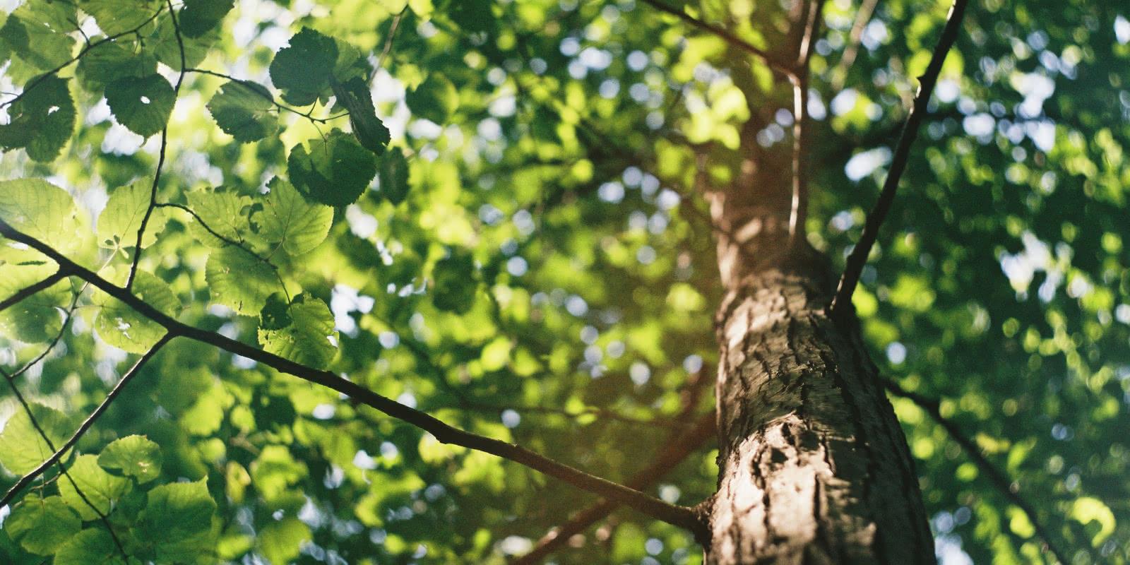 Photo de la cime d'un arbre en forêt de Montmorency