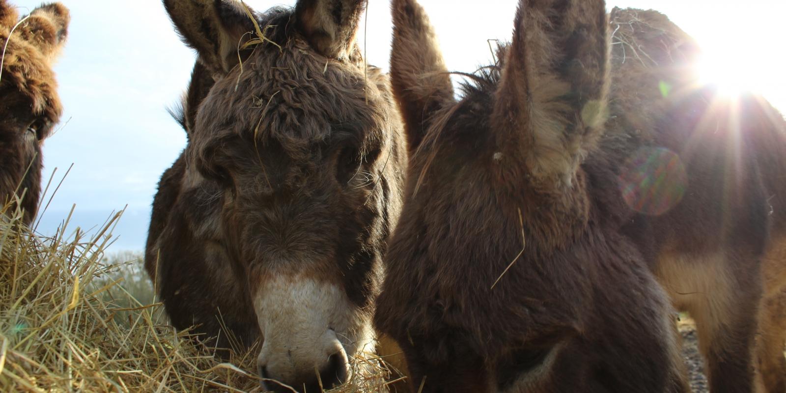 Photo d'ânes d'Ânes en Vexin qui mangent du foin