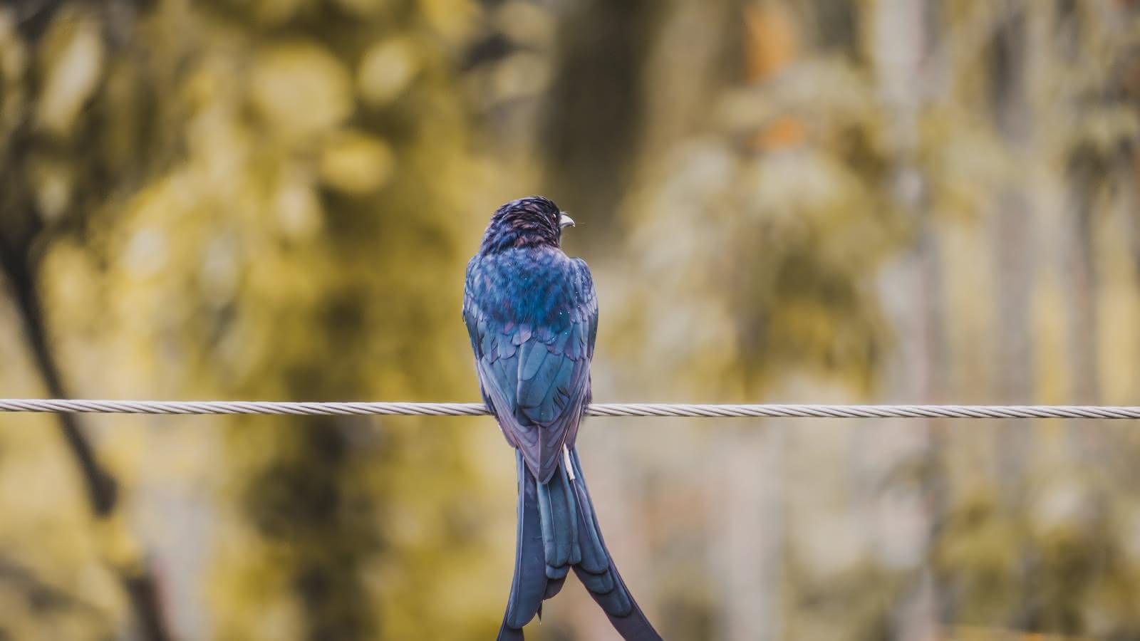 Photo d'un oiseau bleu sur un câble électrique
