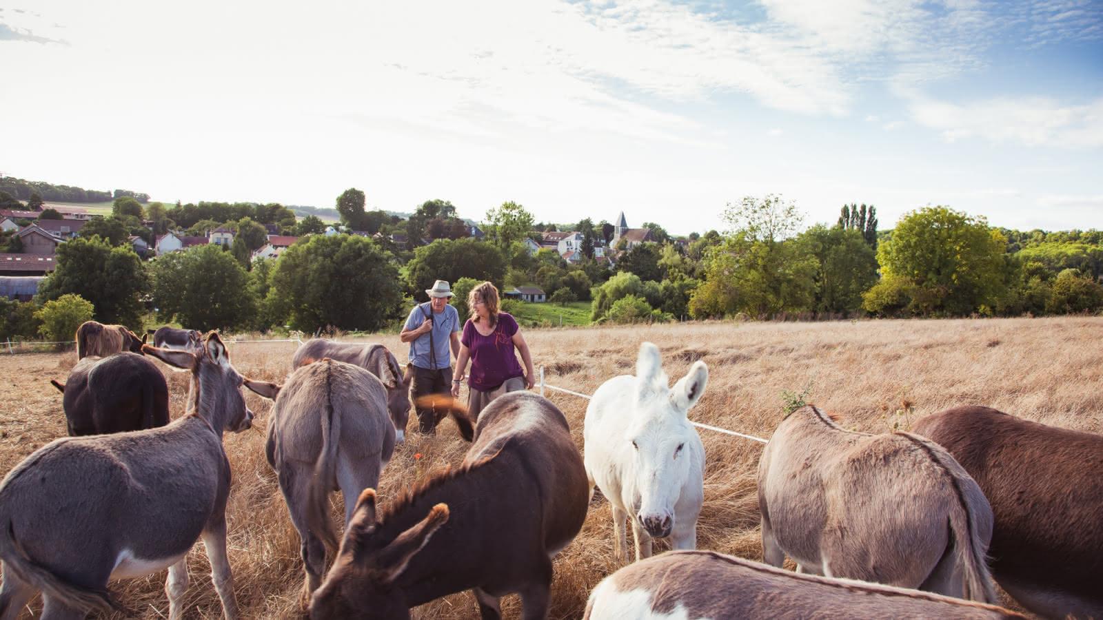 Photo de Gilles et Sandrine Lemaire avec leurs ânes d'Ânes en Vexin en train de marcher dans un champ de blé