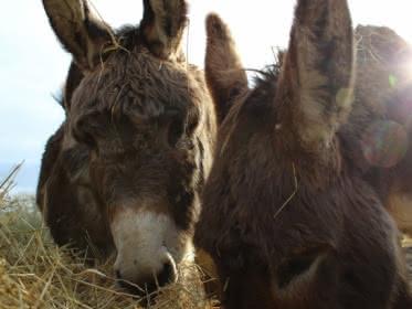 Photo de deux ânes appartenant à Ânes en Vexin en train de manger du foin à Longuesse dans un champs