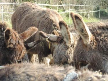 Photo d'ânes d'Ânes en Vexin