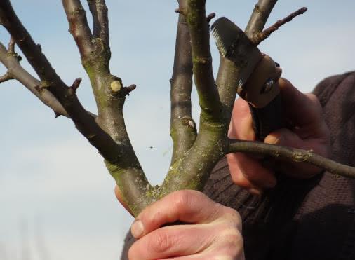 Atelier « Taille de formation » des arbres fruitiers